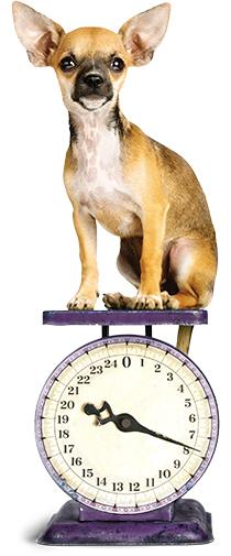 Chihuahua dog on weight